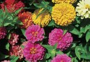 How to Get More Flowers on Zinnias With One Flower to a Stem