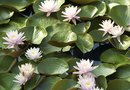 How to Eradicate Waterlilies