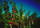 Can You Graft Different Types of Fruit Trees Together?