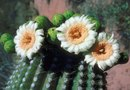 Does Every Cactus Bloom?