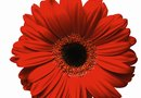 When Do Gerberas Bloom?