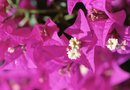 Structures of Bougainvillea Flowers