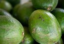 How to Improve an Avocado Tree