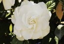Are Gardenias Annuals or Perennials?