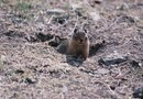 What Can Be Used to Keep Gophers Away From Tree Roots?