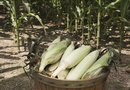 How to Grow Silver Queen Corn