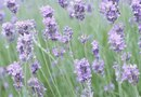 Why Lavender Turns Brown