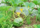 A Watermelon Vine Turning Yellow