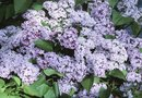 New Varieties of Dwarf Lilac