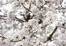 Cherry Tree With White Blossoms