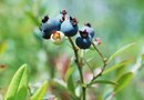 How to Make Fertilizer for Acid Loving Blueberries