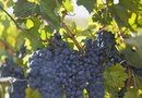 How to Add Nutrients to Soil for Grape Vines