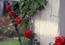 How to Stake a Rose Bush