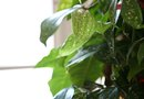 How to Divide the Root Ball on a Split Leaf Philodendron