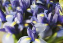How to Force a Dwarf Iris