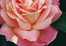 Difference Between Hybrid Tea & Floribunda Roses