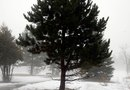 How to Prune Up the Bottoms of Pine Trees