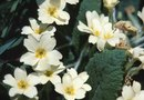 How to Transplant Primroses in Pots