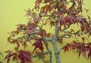 How to Graft Japanese Maple Cuttings