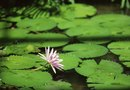 Good Aqua Plants for Ponds