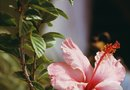 How to Trim a Hibiscus in the Summer