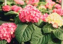 Hydrangeas & a Nitrogen Deficiency
