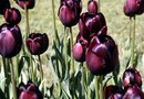 Unusual Colors of Tulip Bulbs