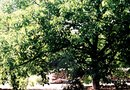 What Vegetables Can Grow Near Walnut Trees?