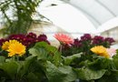 Can You Grow Gerbera Indoors?
