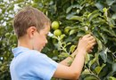 Five Different Varieties of Dwarf Apple Trees
