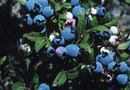 How to Plant & Raise Blueberries