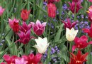 Must You Dig Up Tulip Bulbs and Replant Every Year?