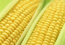 Sweet Corn for Late Summer Planting