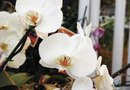 How to Pollinate a Phalaenopsis Orchid