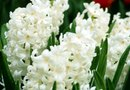 How to Care for Hyacinth Bulbs & Plants