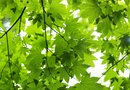 How to Care for a Golden Full Moon Maple