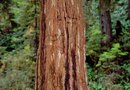 Redwood Tree Dieback