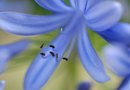 How Old Is an Agapanthus Before Blooming?