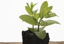How to Keep a Mint Plant Alive in a Pot