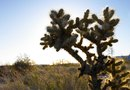 Care of Jumping Cholla Cactus