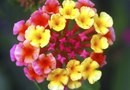 Can You Root a Lantana?