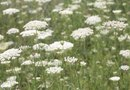 Do Slugs Eat Queen Anne's Lace?