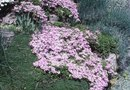 Acid Soil for Creeping Phlox