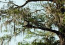 Bald Cypress Infestation