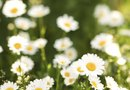 How to Landscape With Daisies