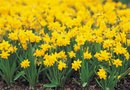 How to Deadhead Daffodils
