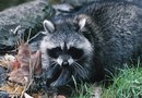 What Spices Keep Raccoons Away?
