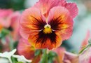 What Minerals Do Pansies Require?