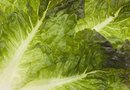 How to Reduce Nitrates in Hydroponic Lettuce