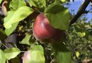 Apple and Pear Trees: Best Fertilizer for Fruiting